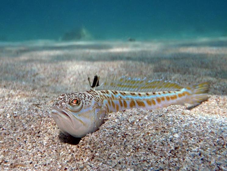 Рыба черного моря фотографии того, как