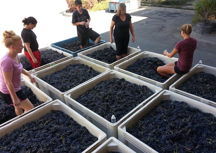 Девушки давят виноград для вина
