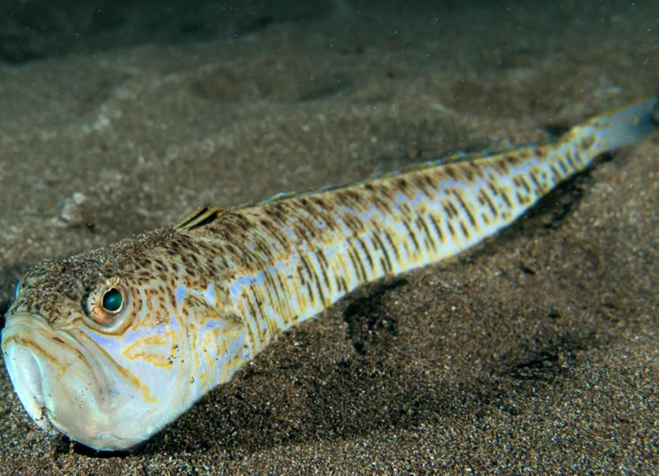 Морской дракон – опасная и ядовитая обитательница Черного моря